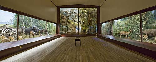 A modern museum gallery containing dioramas of stuffed animals