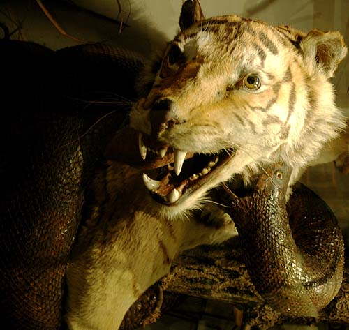 A taxidermy tiger being attacked by a stuffed snake