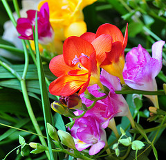 A closeup of freesia flowers