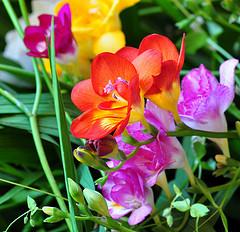 A closeup of freesia flowers