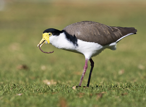 A masked lapwing bird eating a worm