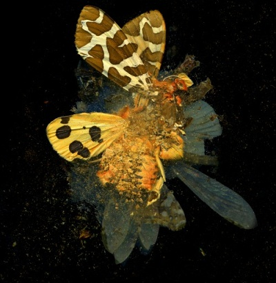 A photograph of a yellow-winged butterfly crushed into powder